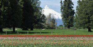 Chile, viajar-en-auto, Osorno, Region de los Lagos, Viajar-en-pareja, Volcán Osorno, Paso-fronterizo-cardenal-samore, tulipanes