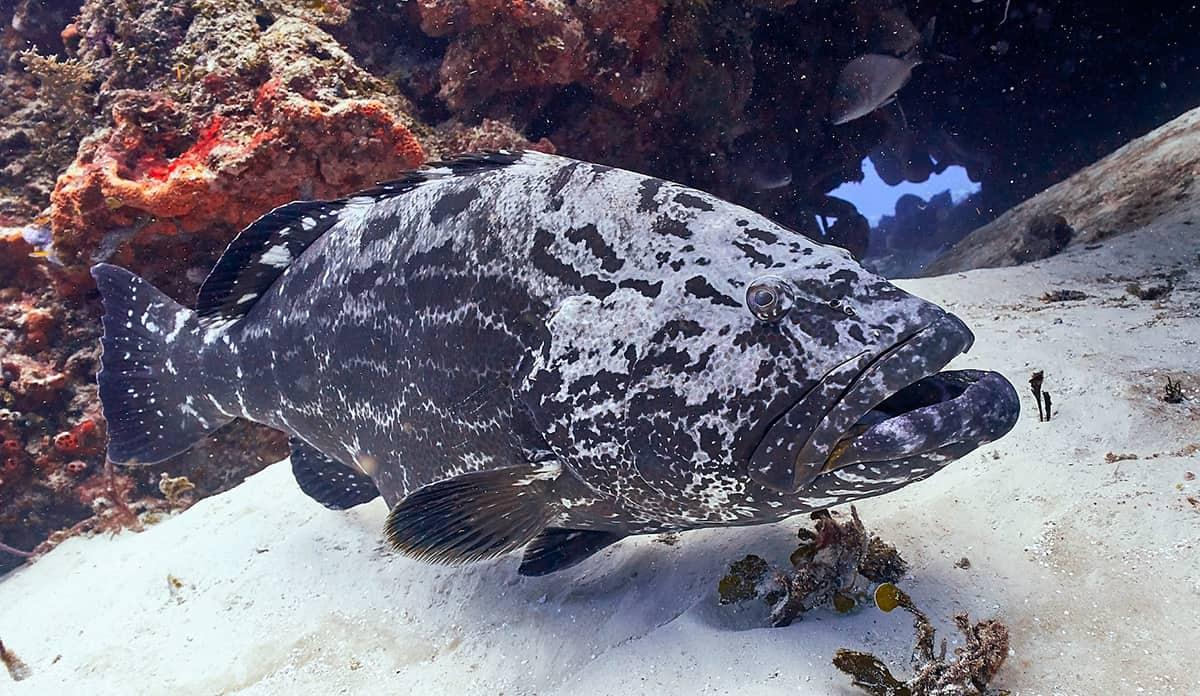 buceo,-diving,-cozumel,-scubatony,-mexico,-viajeydescubra,-peces-enormes