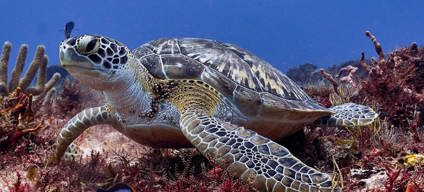 buceo,-diving,-cozumel,-scubatony,-mexico,-viajeydescubra,-tortuga,-portada
